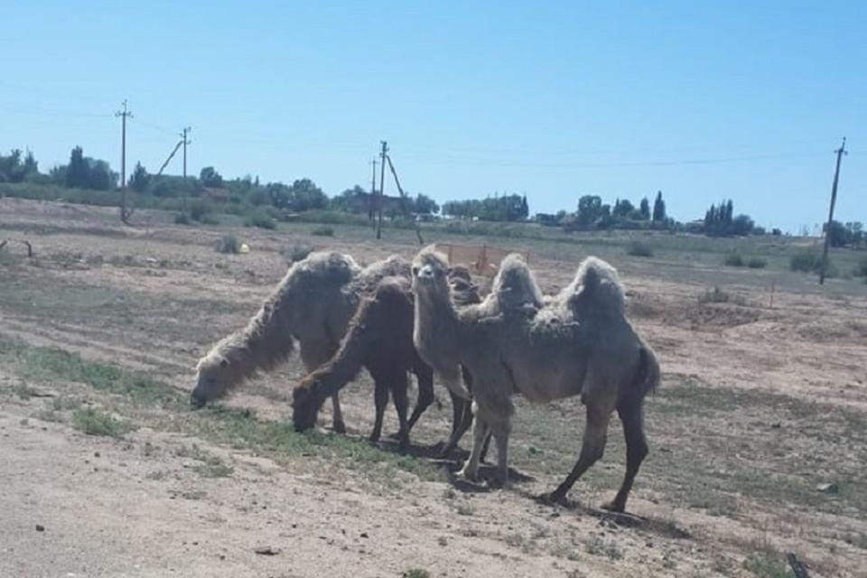 Пока верблюды к людям не агрессивны. Фото: администрация Икрянинского района