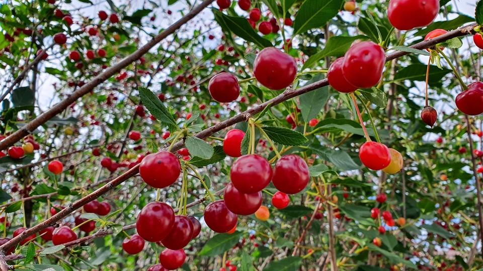 Под Красноярском небывалый урожай вишни.