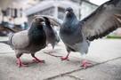 Экологическая дилемма: Птиц назвали серьезными разносчиками мусора в городах