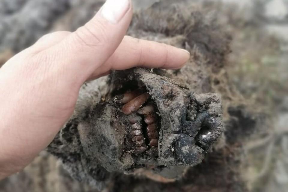 В Якутии оленеводы нашли мумию доисторического медведя. Фото: сайт Северо-Восточного федерального университета