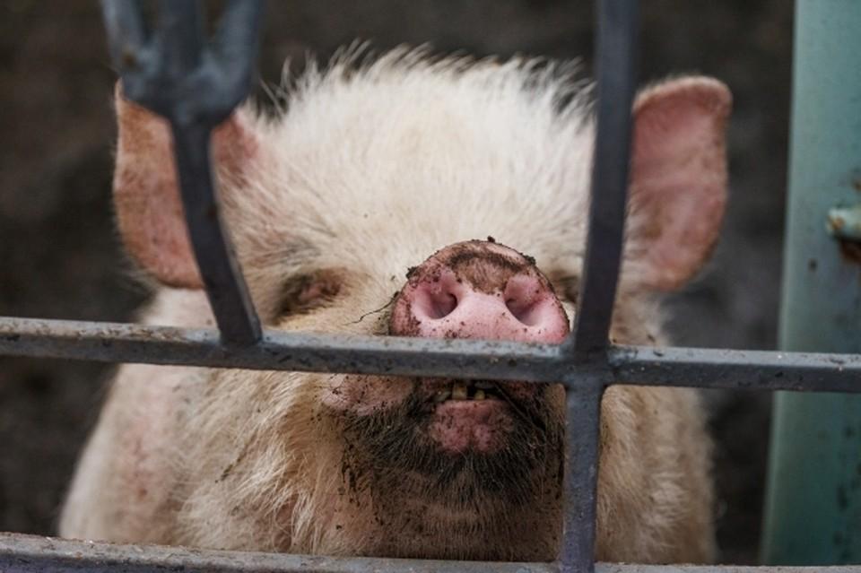 Почти во всех районах Хабаровска выявили очаги африканской чумы свиней