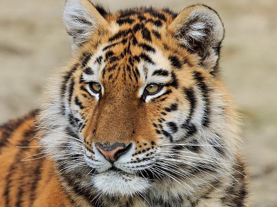 Амурский тигров на Дальнем Востоке осталось немного - около 560 особей. Фото: wikimedia.org