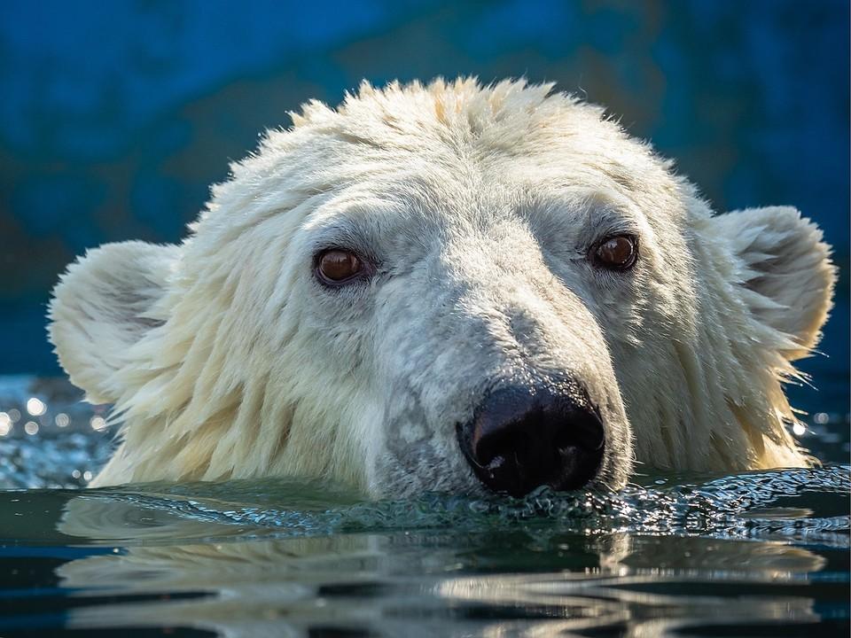 Медведица Марфа обожает купаться. Фото, видео: Роев ручей.