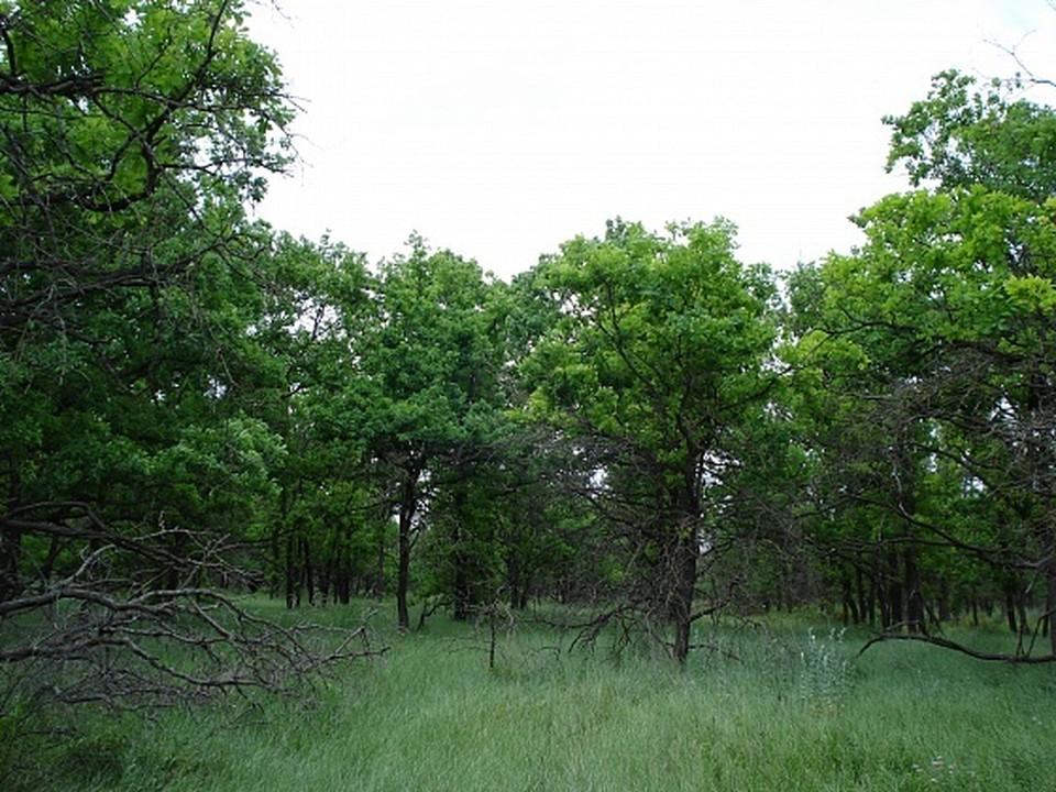На западе Волгограда высадят пять тысяч сосен