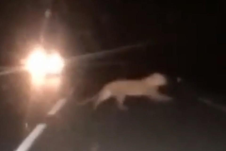Для местных жителей увидеть этого зверя равносильно чуду