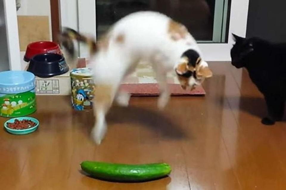 Шутка с огурцом, пугающим домашних котиков, стала популярной пару лет назад.