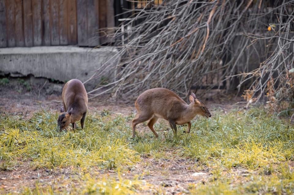 Две самки мунтжаков появились в Новосибирском зоопарке в 2019 году. Фото: Е. Черненко