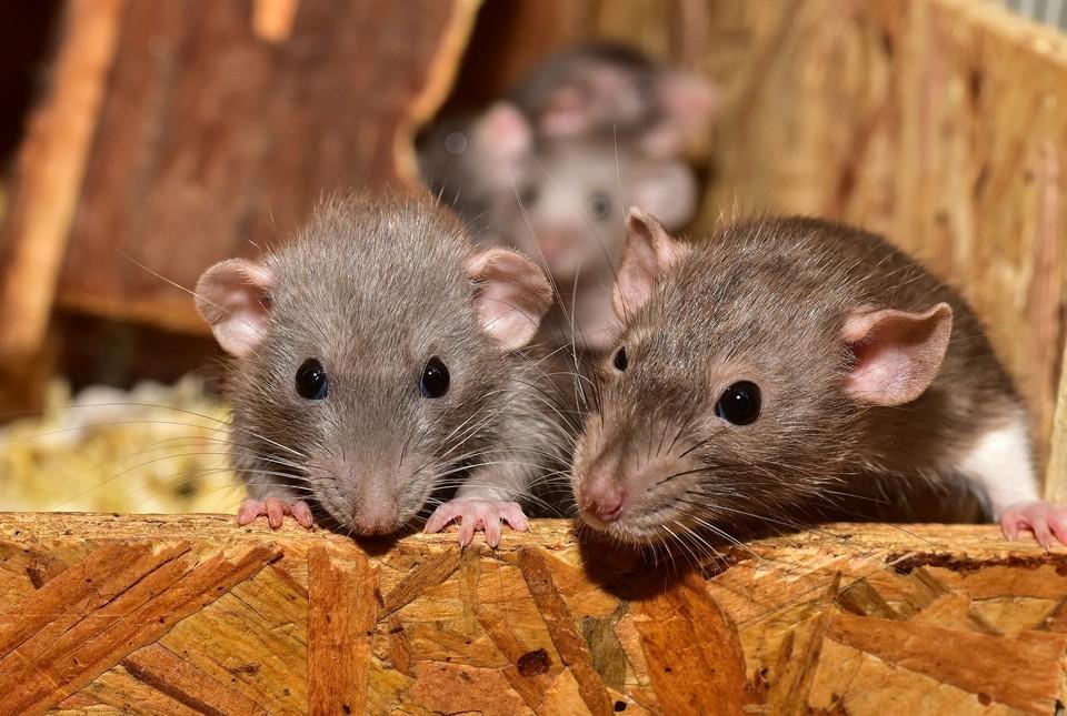Управляющую компанию оштрафовали, потому что в доме развелись крысы и мыши. Фото: Pixabay