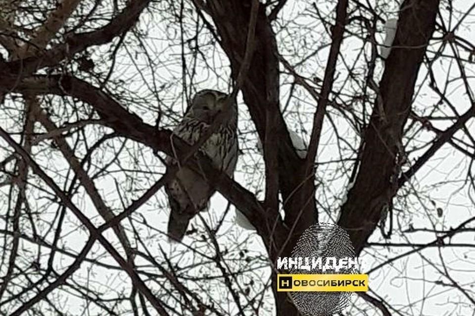 """Птицу сфотографировали прохожие, позже снимок попал в сеть. Фото: """"Инцидент Новосибирск""""."""