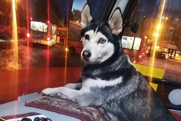 «Уже две собаки поработали кондукторами»: Нижегородская маршрутка превратилась в «хаскимобиль»
