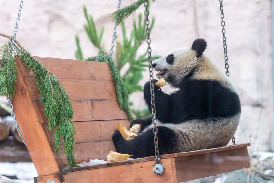 Панды ели морковь, яблоки и панда-кейки.
