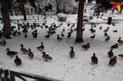 Утки в Твери счастливы и сыты: В городе прошла утиная перепись