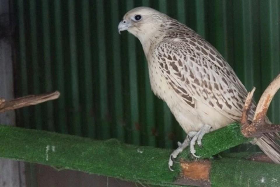 Кречеты - относятся к семейству соколиных, занесенных в Красную книгу РФ, как особо ценный вид птиц