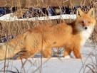 Сколько лис в Воронежской области и зачем их отстреливать