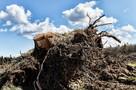 На Украине ввели плату за сбор в лесу пней и боярышника