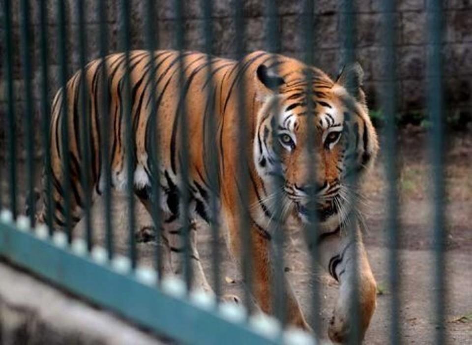 Тигр - крайне опасное животное!