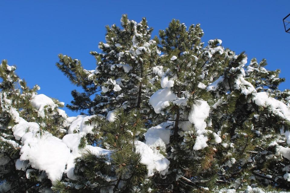 В Крыму настоящая зима - деревья укутаны в белую шубу.