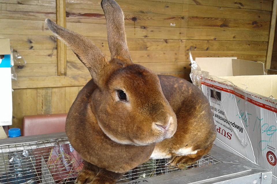Теперь кролики? ВОЗ продолжает искать ковидное животное.