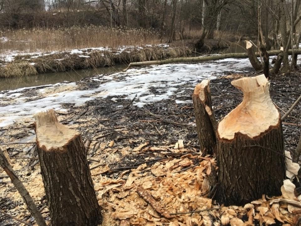 Деревья решили не сносить, а пересадить в границах парка.