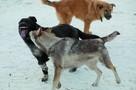 «Орала звериным голосом»: собачья свора напала на девушку в Приморье