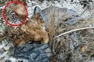 Ежедневно находим тела животных, умерших в муках: в Волгограде живодеры травят биркованных собак