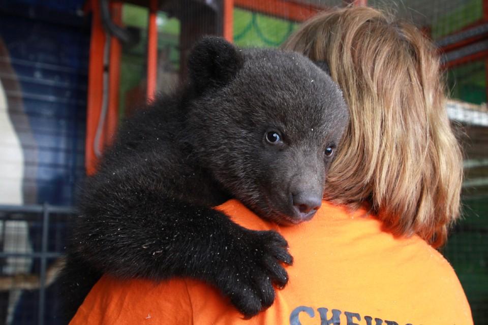 Троих медвежат-сирот, брошенных матерью, спасли и теперь выхаживают сибиряки