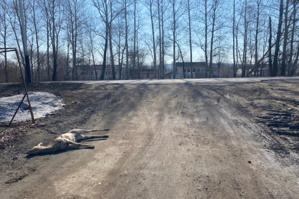 Косули появляются в населенных пунктах региона практически каждый год. Фото: минприроды Хабаровского края
