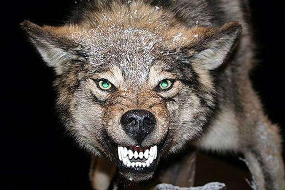 Волк искусал трех человек в Пинском районе. Пока его не поймали, из дома лучше не выходить! Фото:zooclub.ru