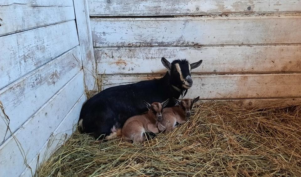 В зоопарке родились козлята. Фото: Пермский зоопарк.