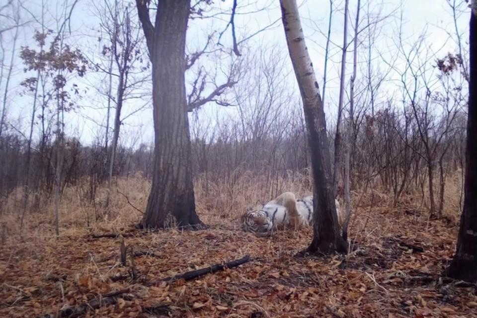 Погибший зверь считался одним из знаковых для Анюйской тайги