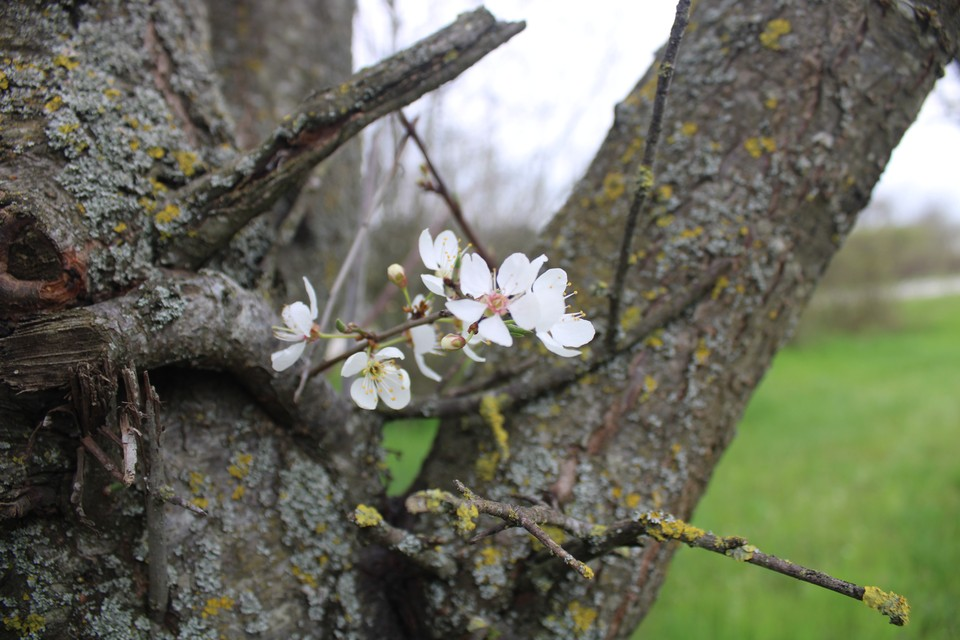 В Крыму, несмотря на затяжную весну, цветут плодовые деревья.