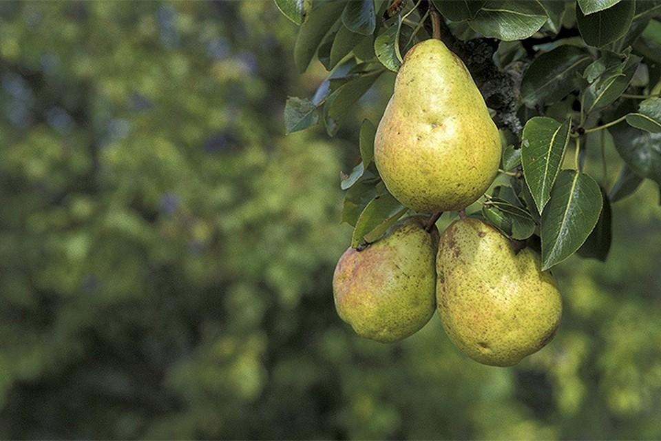 В Красноярске раздавили 2 тонны запрещенных груш из Бельгии