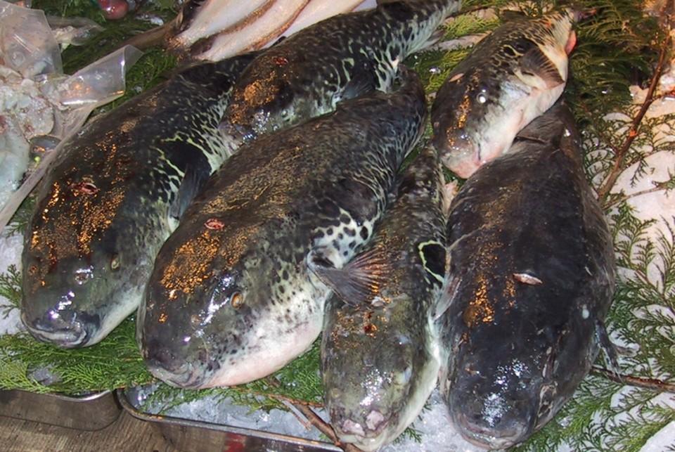 """Фугу нужно готовить определенным образом, чтобы не отравиться. Фото: """"Википедия"""""""