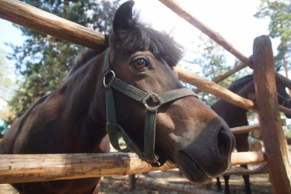 Лошадь испугалась машин и потащила девушку прямо на дорогу.