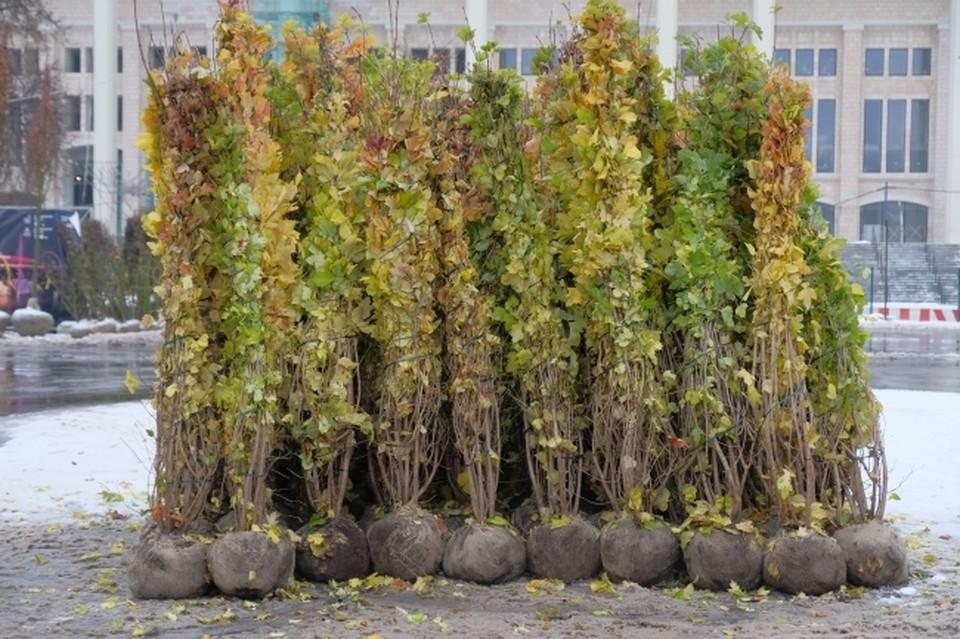 Многие из срубленных деревьев компенсируют новыми саженцами.