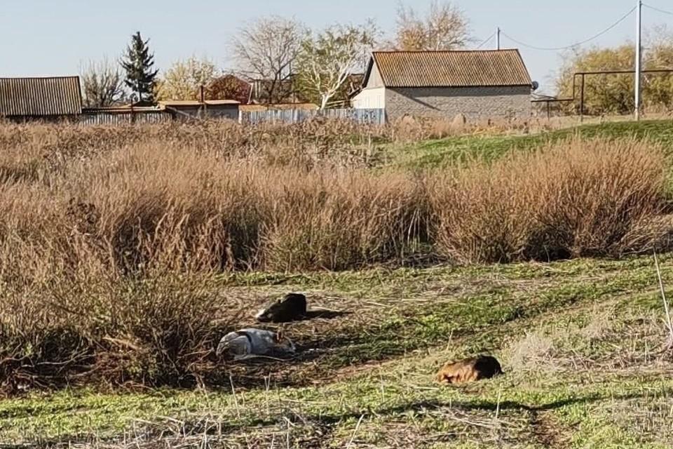 Собаки живут на улицах села Логиновка без всякого контроля