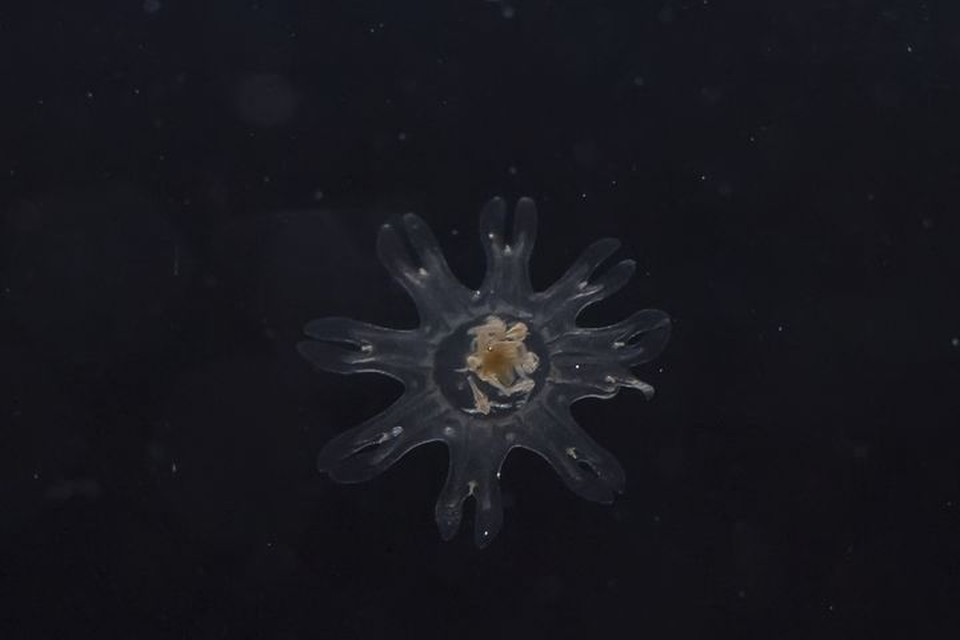 Ученые Приморского океанариума добились размножения холодноводных медуз. Фото: пресс-служба океанариума.