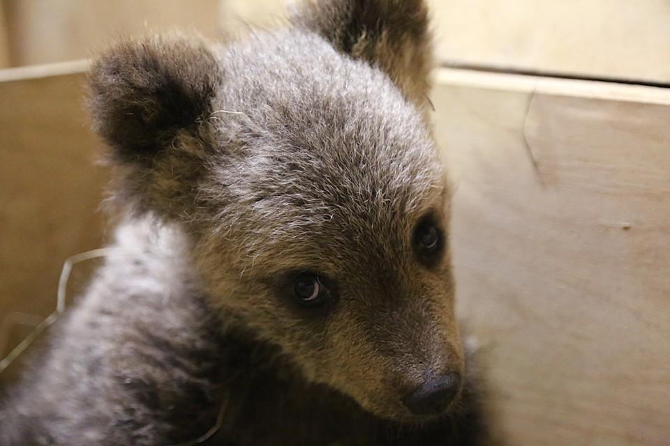 В Тверской области спасли медвежонка, которого чуть не загнала собака. Фото: группа в ВК/Центр спасения медвежат-сирот.