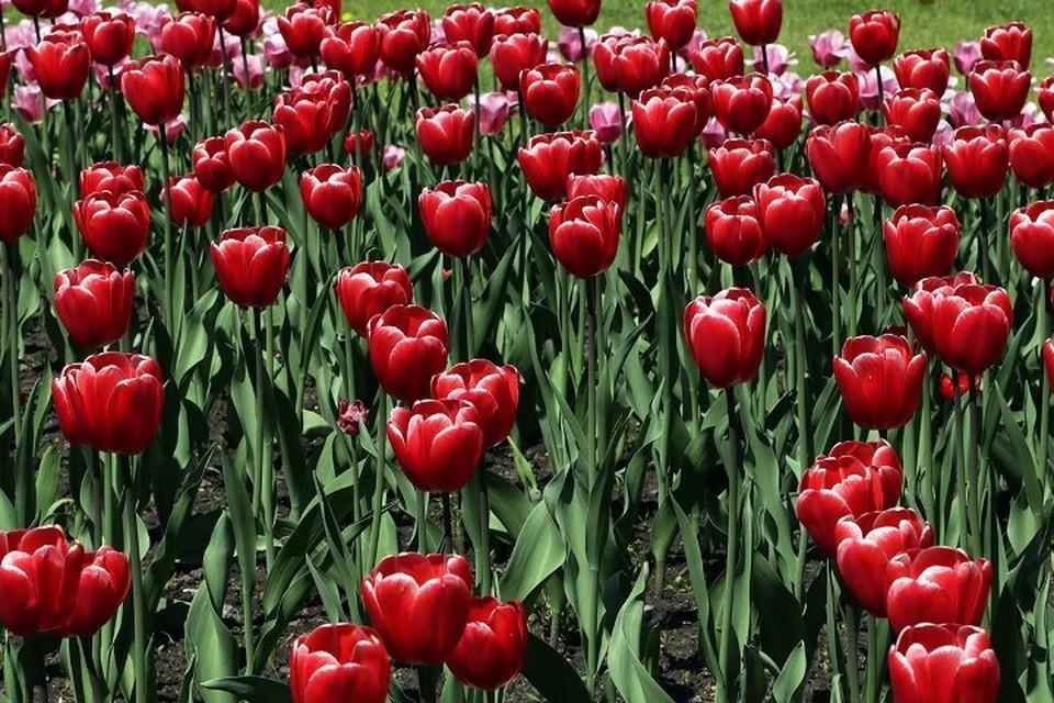 К Дню Победы Брянск украсили тысячи тюльпанов