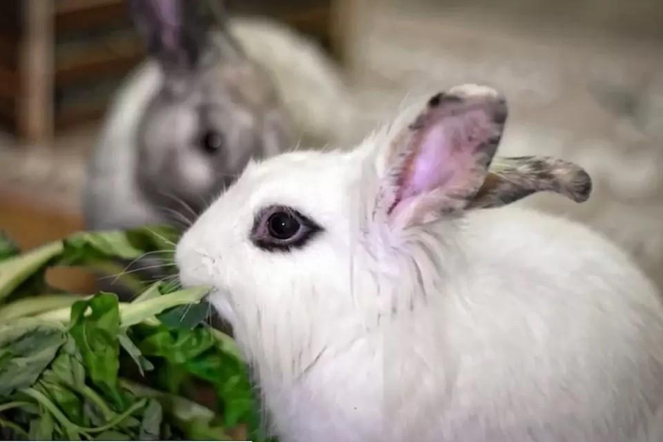 В Тюменском районе занимаются искусственным осеменением кроликов