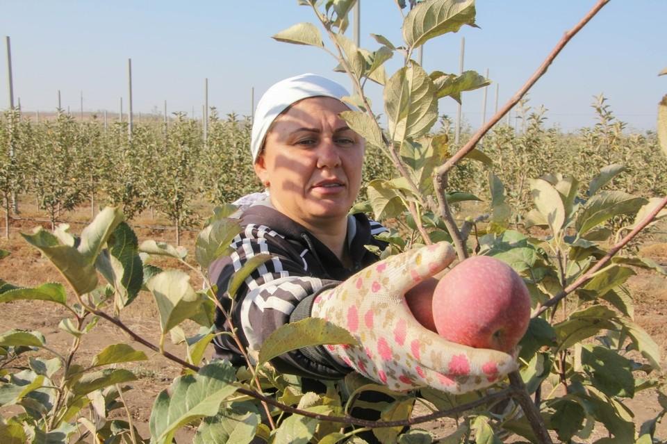 В этом году запланировано высадить 50 гектаров садов зимней яблони, груши, черешни и сливы