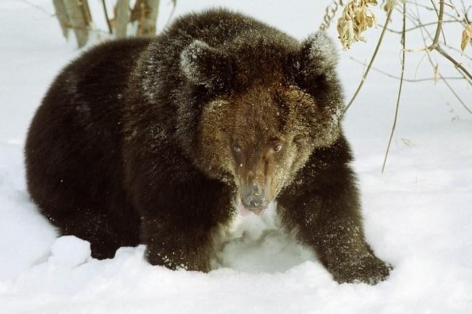 Такого, чтобы медведи забирались к женщине в огород, еще не случалось