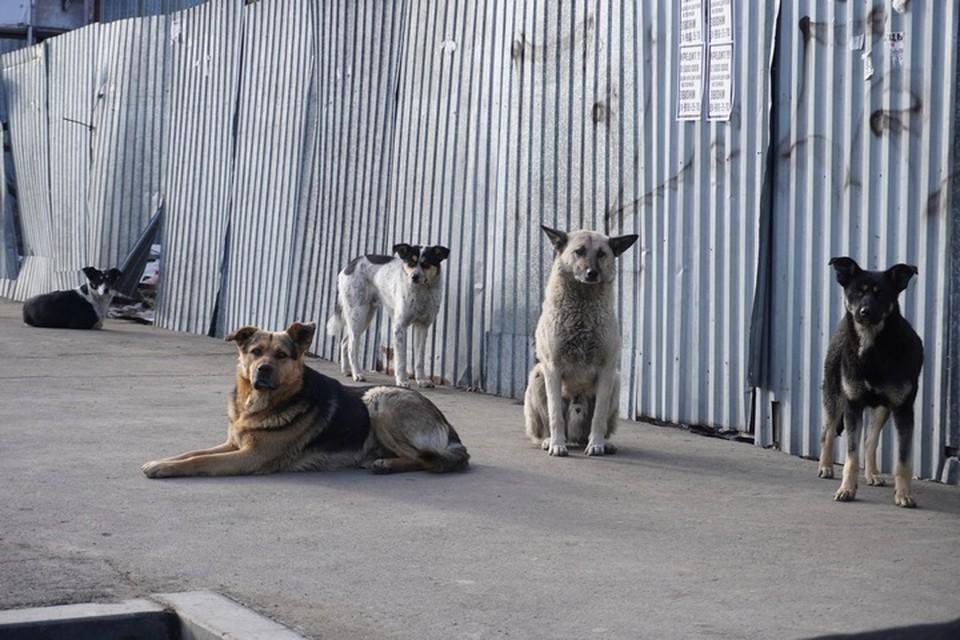 Нападение бездомных собак на людей - частое явление для Приморья.