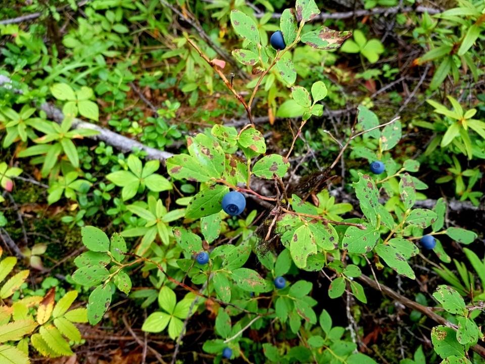 Агентство лесного и охотничьего хозяйства Сахалинской области установило сроки начала заготовки дикорастущих плодов и ягод