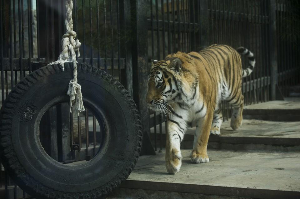 Мобильный пункт вакцинации развернут за вольерами тигров