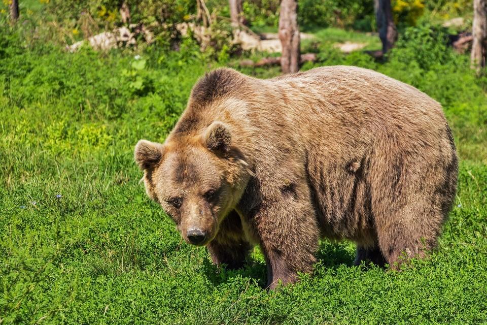 Медведи могут представлять для человека серьезную опасность Фото: pixabay.com