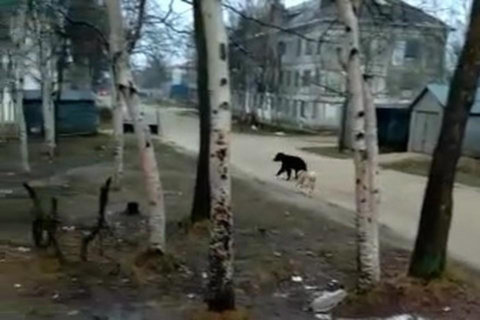 От такого напора хищник поджимает хвост и позорно ретируется в лесок.