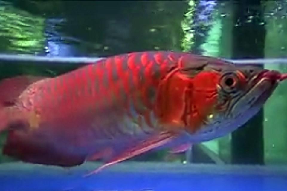 Эти рыбы бывают разных расцветок, но покупатели на Чатучак не сводят глаз с огненно-красной арованы