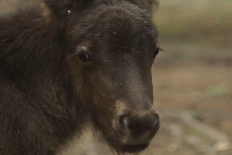 Новосибирский зоопарк выбирает имя для редкого пони. Фото: стоп-кадр.