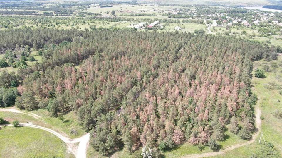 Так сейчас выглядят многие сосновые леса. Фото: Центр защиты леса.